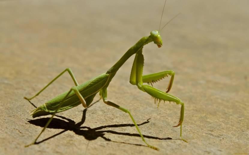 Богомол — описание, основные враги, сроки жизни, среда обитания, питание и размножение + 82 фото