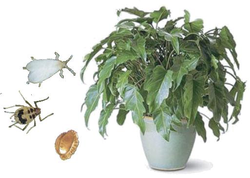 Вредители комнатных растений и средства борьбы с ними