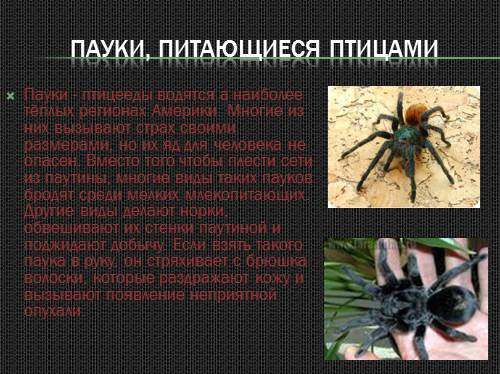 Паук-оса (аргиопа брюнниха)