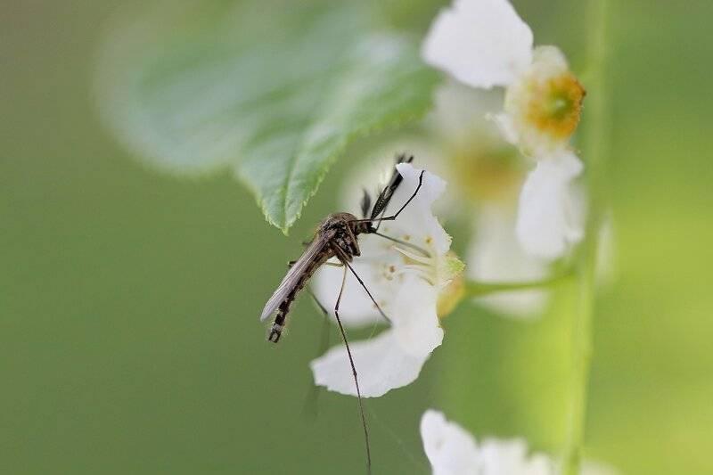 Описание комаров. интересные факты о комарах, или за что уважать кровососа чем комар может быть полезен