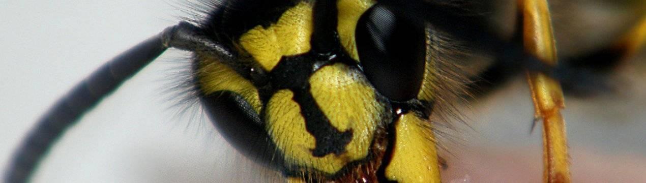 Укус осы: оказание первой помощи, симптомы и народные средства