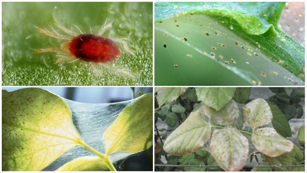 Паутинный клещ на розе — лучшие методы борьбы с вредителем