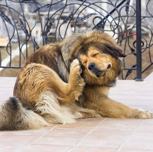 Блохи у собак: чем опасны и как избавиться от них