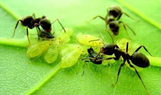Как быстро избавиться от муравьев в теплице с огурцами, что делать?