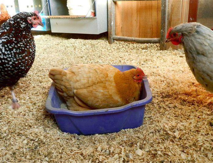 Куриные вши: причины появления и как их вывести
