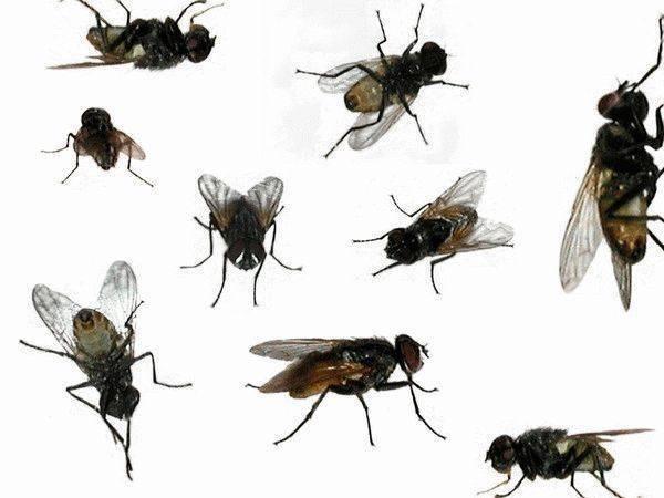 К чему снится муха?