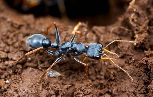 Красные муравьи: как избавиться в домашних условиях