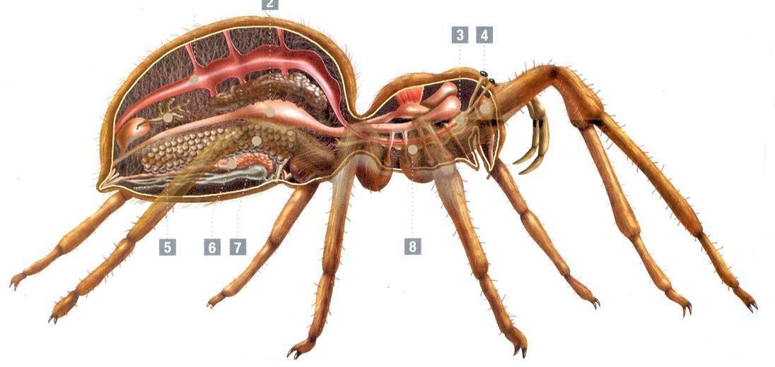 Самые опасные пауки планеты. самые страшные пауки – вся правда об арахнидах