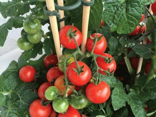 Как бороться с тлей на томатах