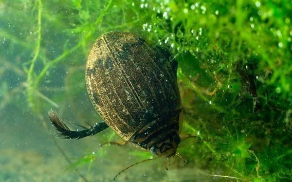 Радужница водная — листоед пресных озер и прудов