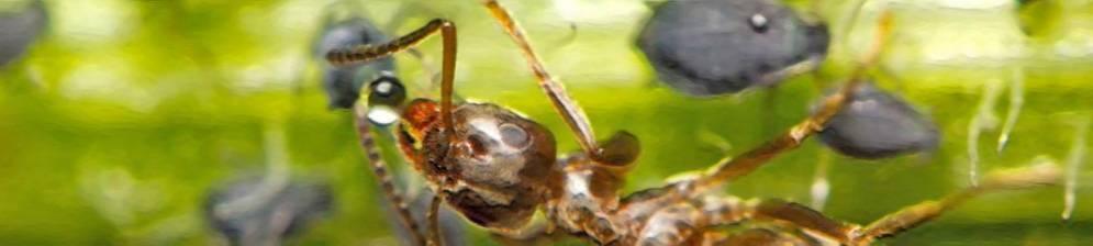Как избавиться от муравьев и тли на яблоне