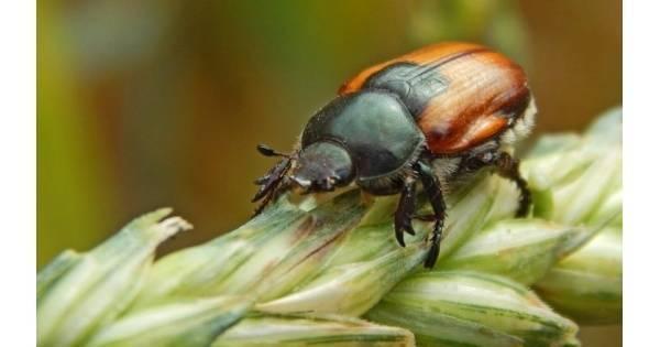 Ростковая муха – как бороться с пожирателем семян и всходов