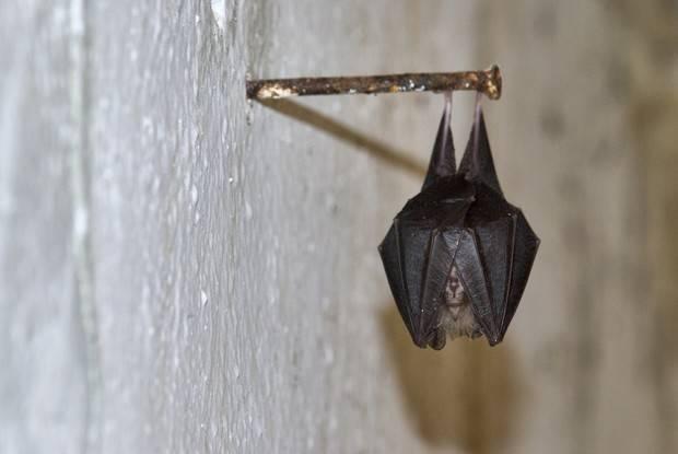 Летучие мыши: видео и фото. как избавится от летучих мышей под крышей, в доме, на даче, на балконе, на чердаке, в квартире, и вообще везде, где это может понадобится