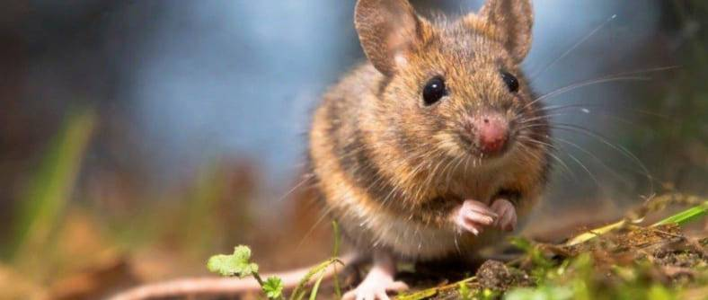 Как поймать мышь — самые эффективные методы борьбы с грызунами
