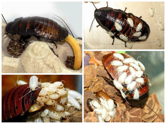 Сколько способны прожить тараканы без воды и еды