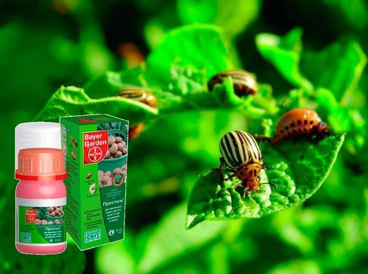 Препарат табу от колорадского жука: сезон без полосатого вредителя и проволочника