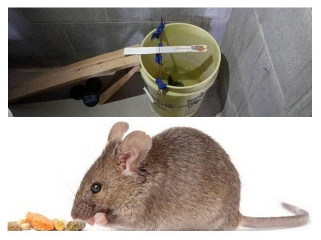 Как поймать мышь в квартире: проверенные способы