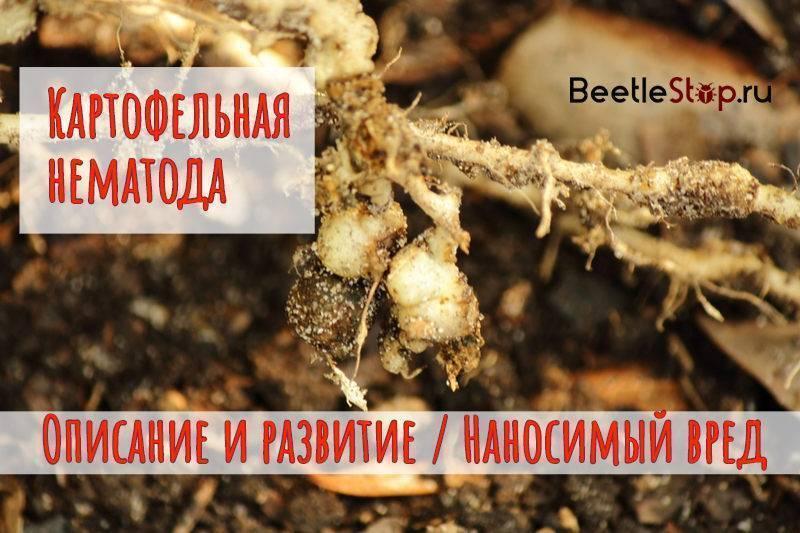 Методы борьбы с картофельной нематодой