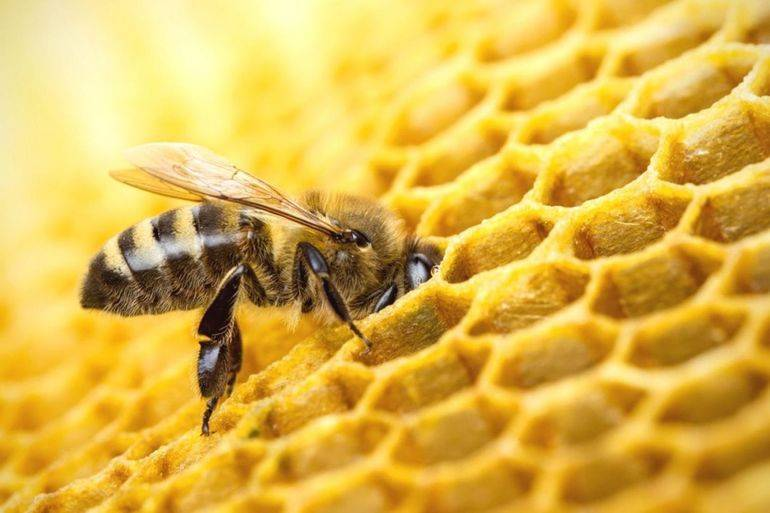 Осы дают мед