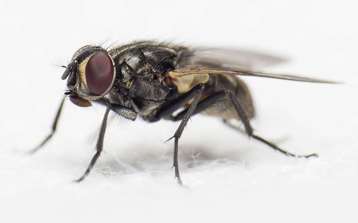 Срок жизни мухи обыкновенной