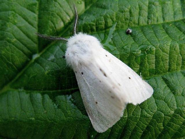 Борьба с гусеницами американской бабочки. чем опасна американская белая бабочка и как уберечь от нее свой участок? как бороться с белой американской бабочкой