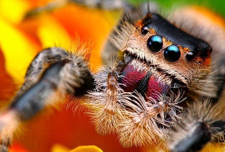 Паук-скакун обыкновенный. паук-скакун – самый стремительный представитель своего семейства зеленый паук скакун