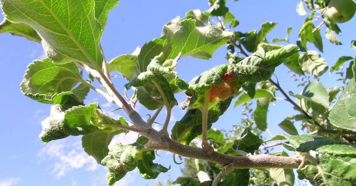 Как бороться с тлей на яблоне – обзор лучших препаратов