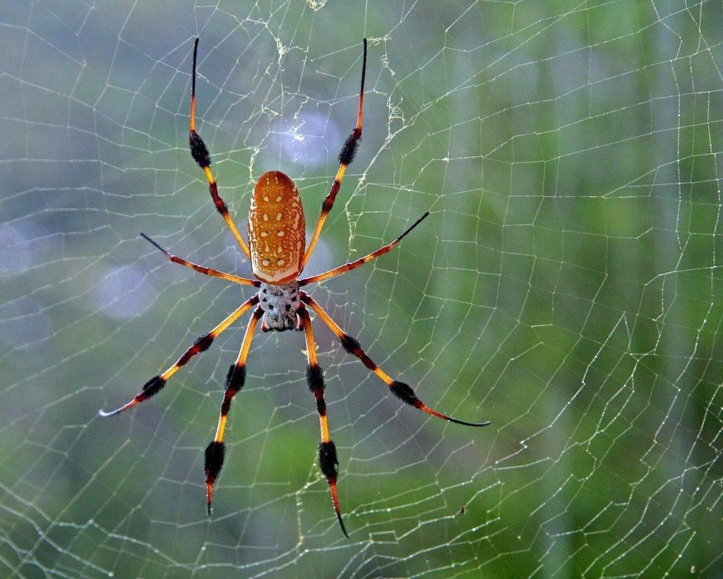 Жёлтый паук