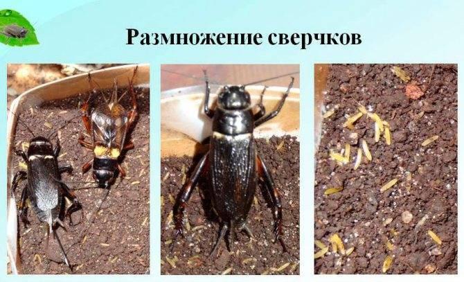 Сколько живет сверчок. как выглядит сверчок — фото и описание видов насекомого. как предотвратить повторное появление гостей
