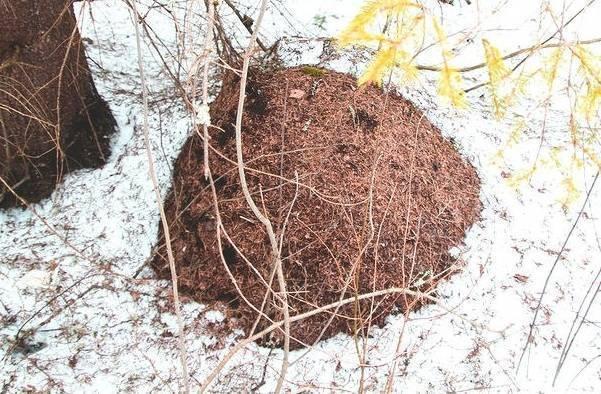Как готовятся к зиме муравьи и где они зимуют?