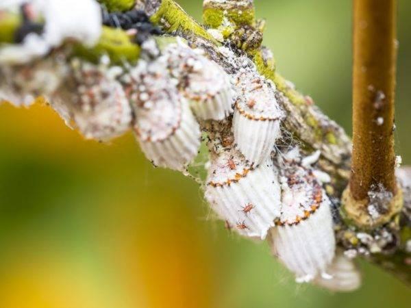 Что за вредитель - червец? виды, фото, способы борьбы с насекомым