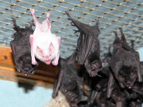 Проверенные приметы о летучих мышах