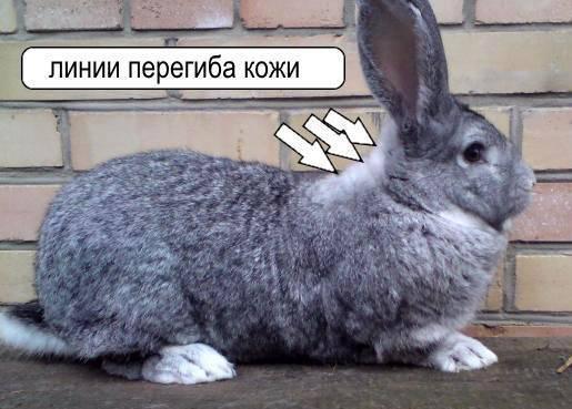 Как вывести блох у декоративного кролика
