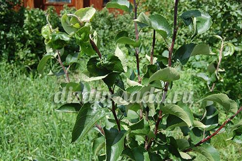 Как избавиться от тли на деревьях (яблоне, сливе, вишне): лучшие средства для опрыскивания (в том числе народные)