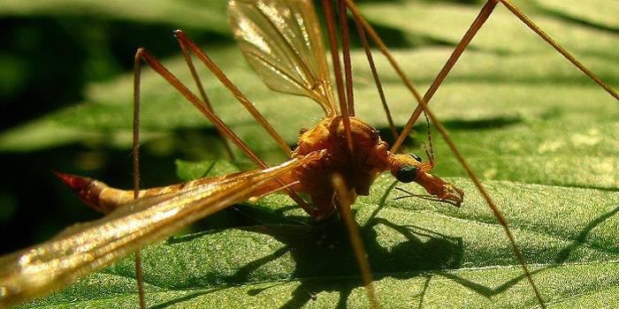 Малярийный комар фото: как выглядит и чем опасен?