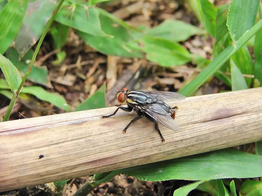 Личинки мангровых мух у собаки. самые опасные паразиты: подкожный овод