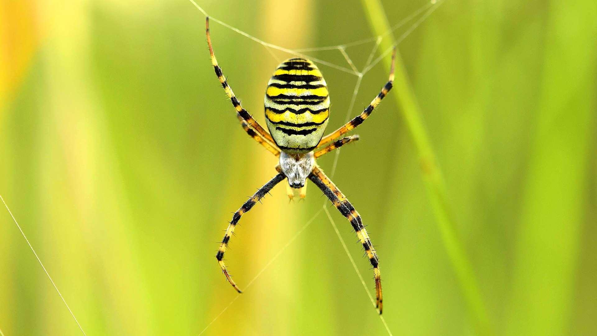 Ядовитые пауки россии
