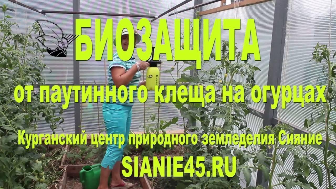 Паутинный клещ на огурцах: способы борьбы и избавления народными способами. 115 фото и видео выращивания огурцов