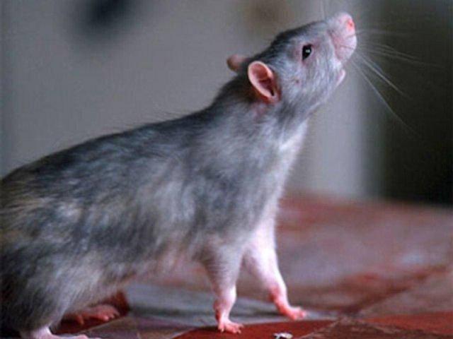 Как избавиться от крыс и предотвратить их появление в доме, подвале, сарае, курятнике или гараже