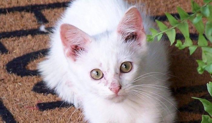 Какие бывают и как лечить наружных паразитов у кошек