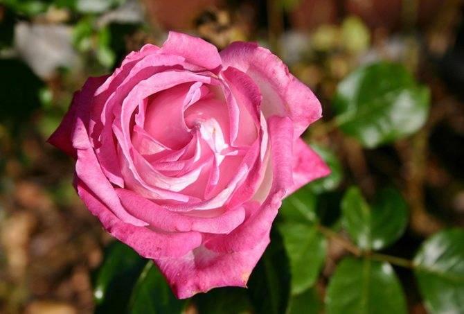 Паутинный клещ на комнатных розах: как бороться с опасным вредителем