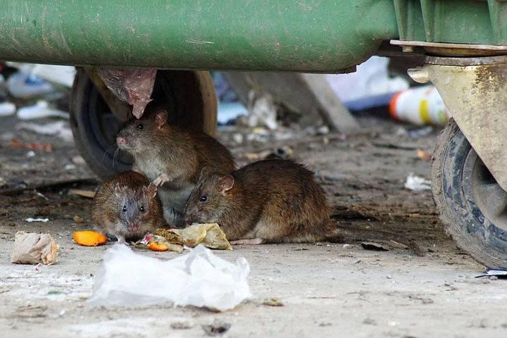 Крыса в унитазе с говном