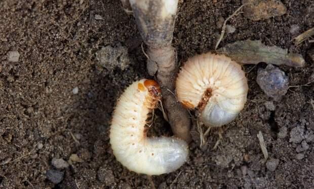 Картофельный проволочник: как избавиться от него, эффективные методы борьбы