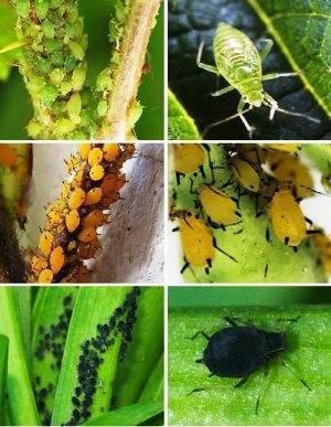 Зеленая тля на персике чем обработать. персиковая (оранжерейная) тля (myzodes persicae). механические, агротехнические методы борьбы