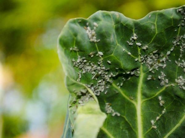 Чем и как правильно обрабатывать капусту разных сортов от вредителей