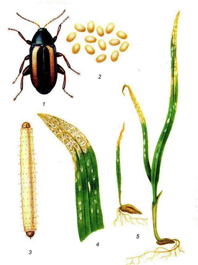 Полосатая хлебная блошка - зерновые: пшеница, ячмень, овес