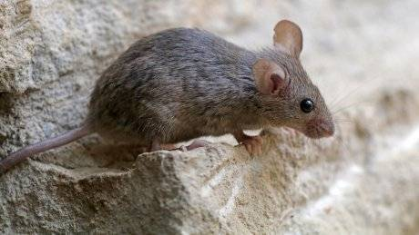 Какие болезни переносят мыши и крысы?