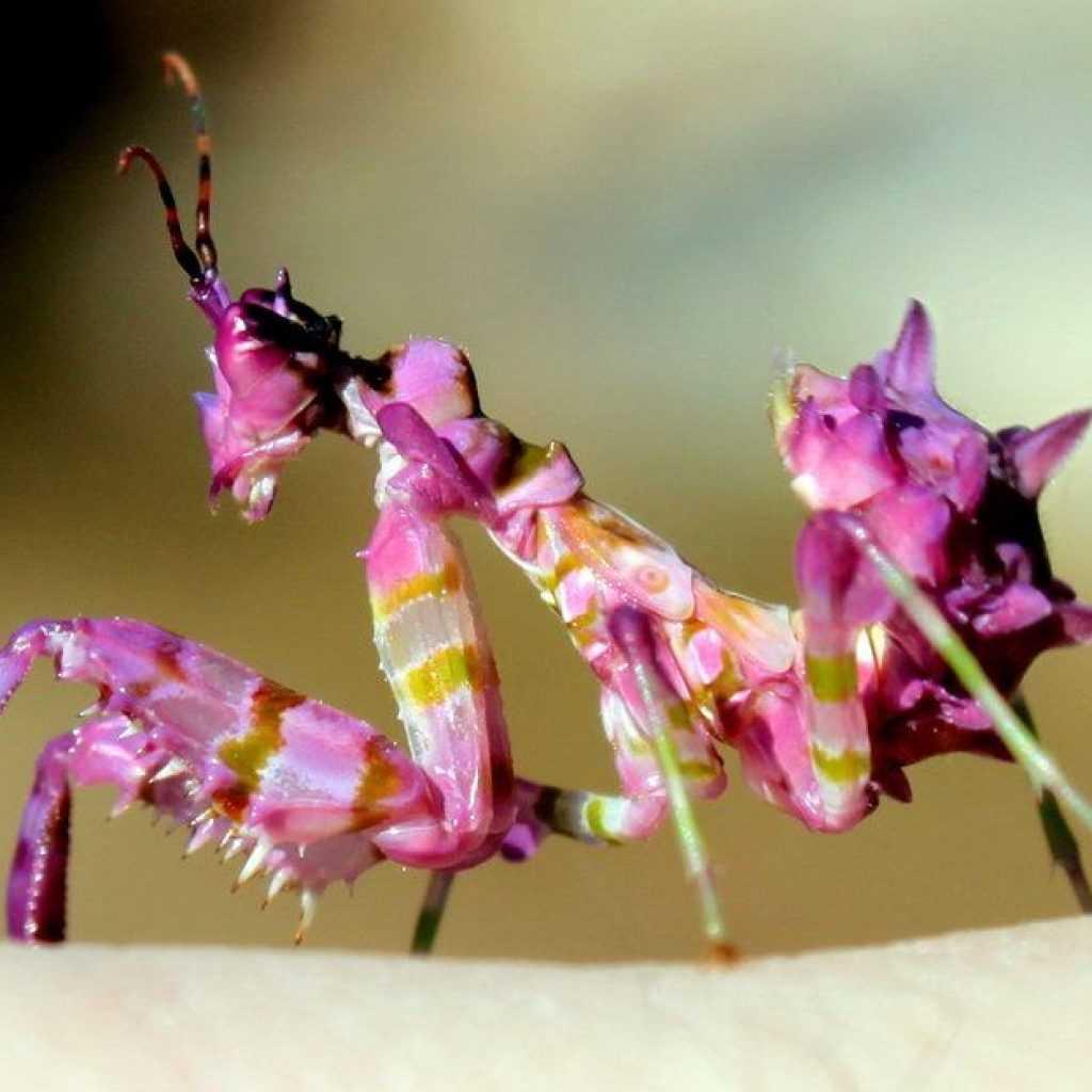 Скорпионница обыкновенная: внешний вид и жизненный цикл