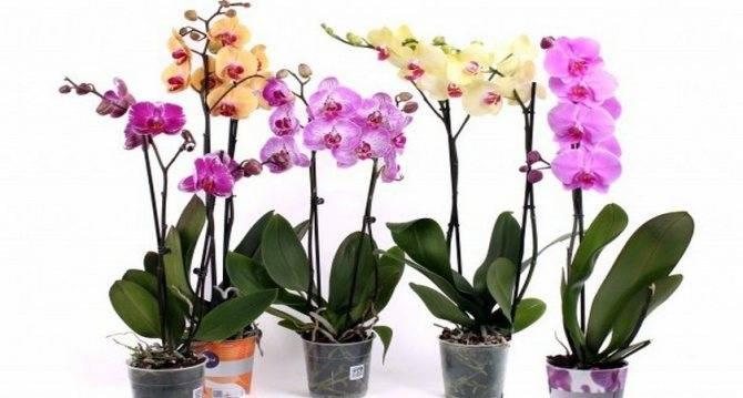 Что делать если в орхидее завелись мошки