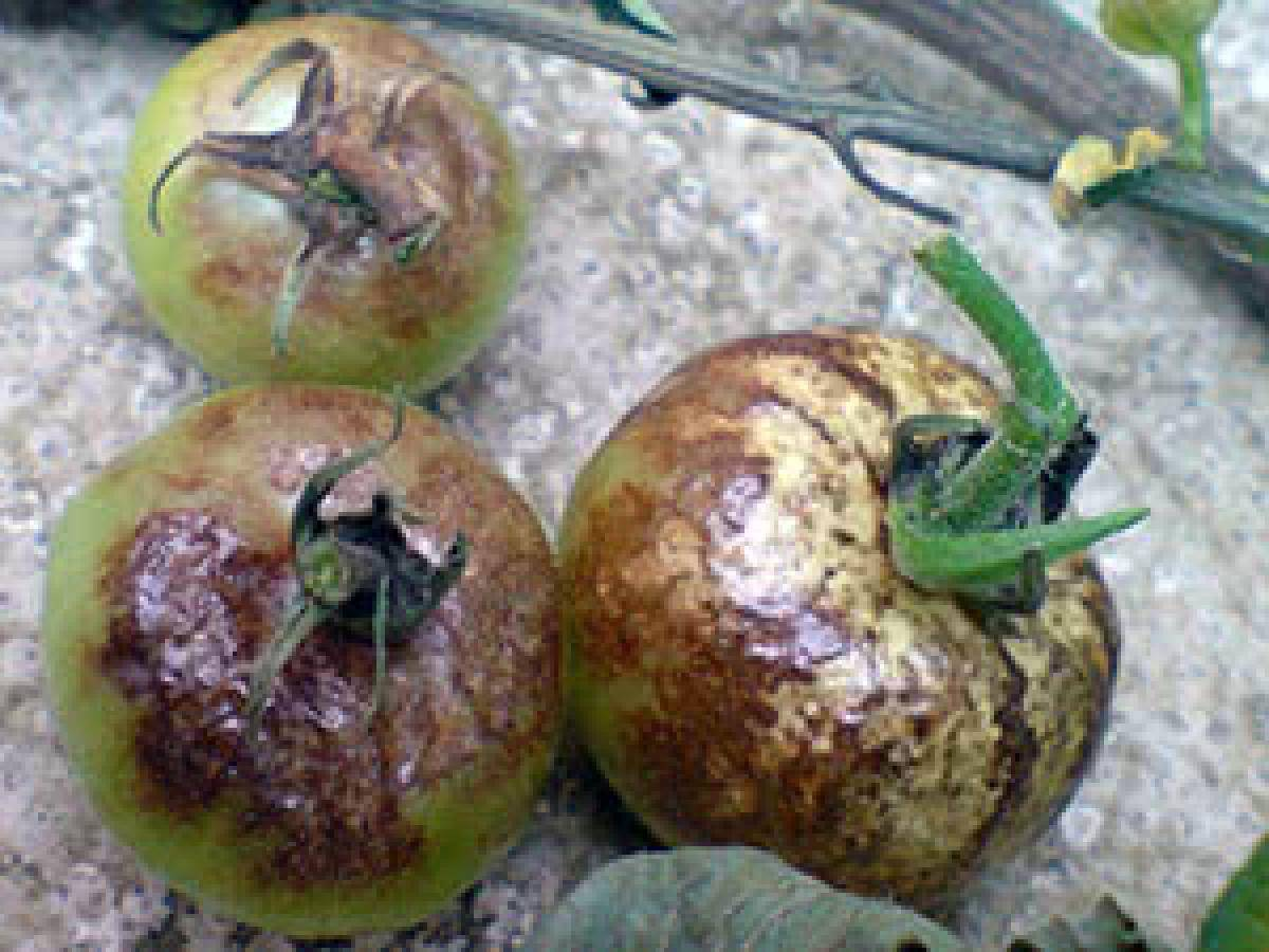 Как бороться с тлей на помидорах: лучшие методы